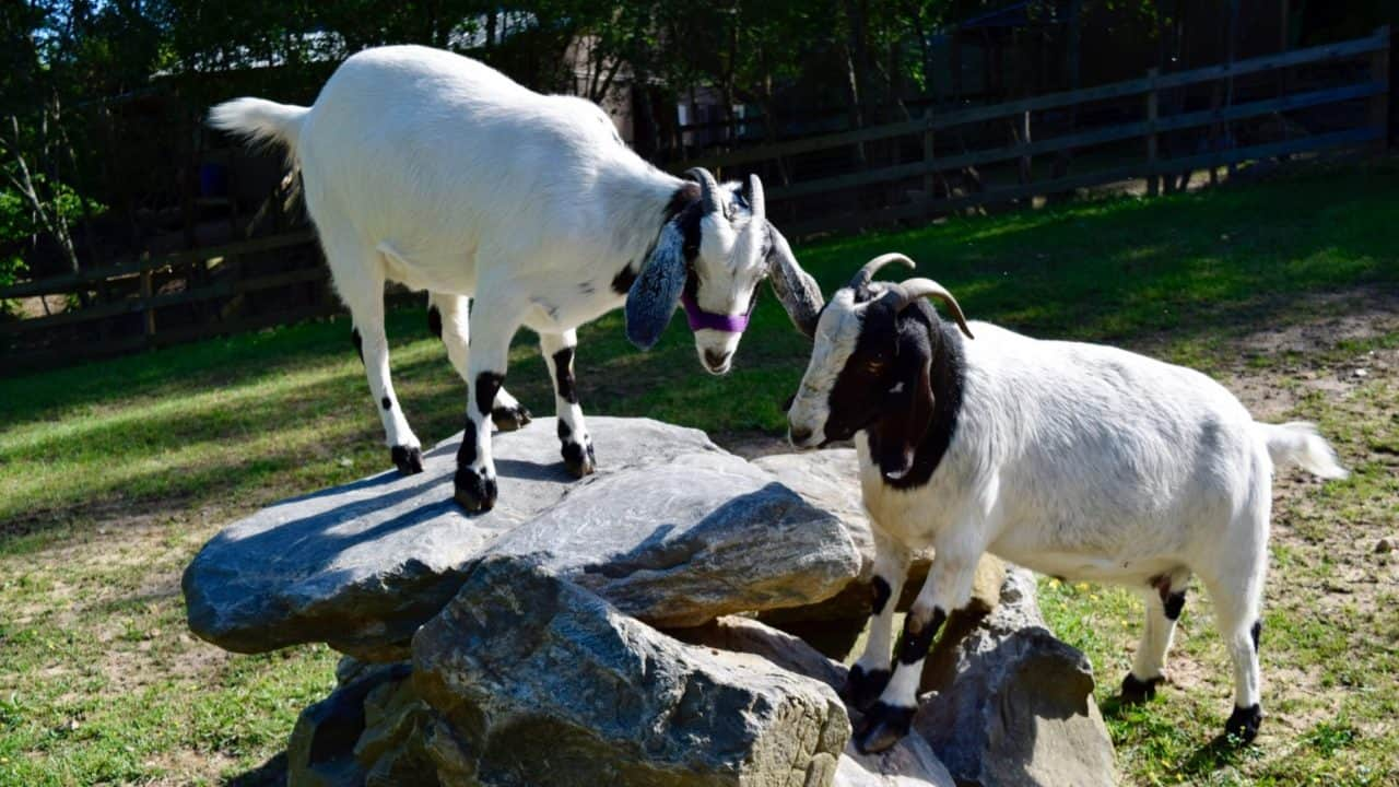 Under-Nubian-Goats-at-the-cove